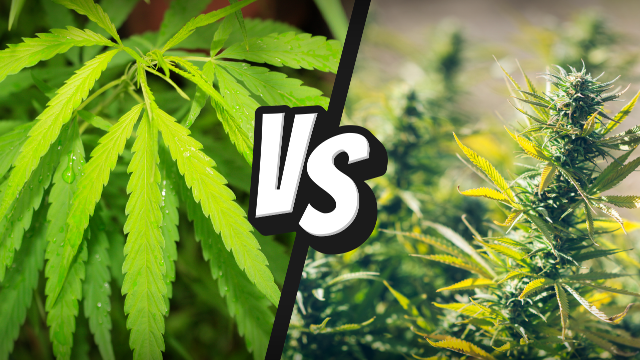 Canabis (marijuana, hasis) | Dependenta, Efecte, Riscuri